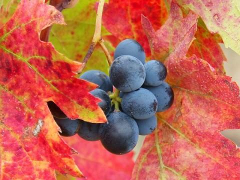 grape-1783250_640